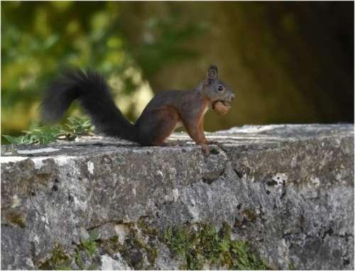 Écureuil et marron